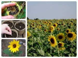 Benefit of sunflower seed oil